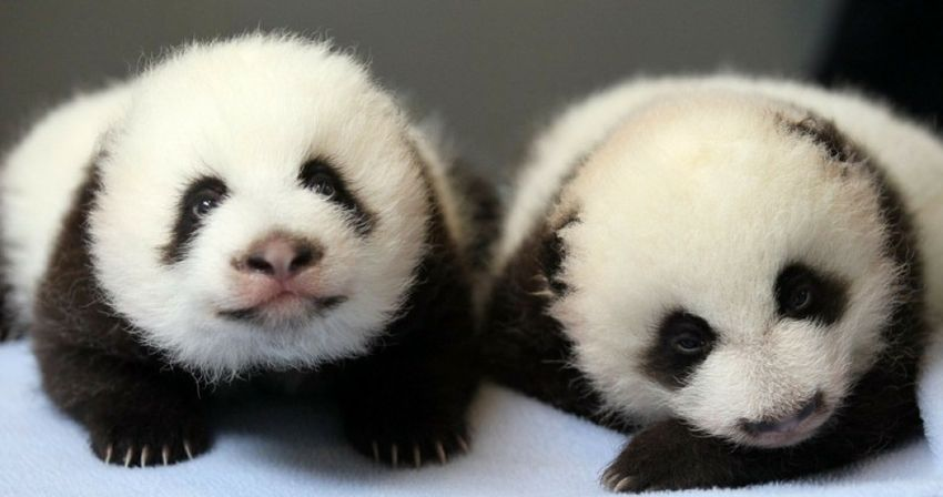 Baby-panda--1-_GH_content_850px