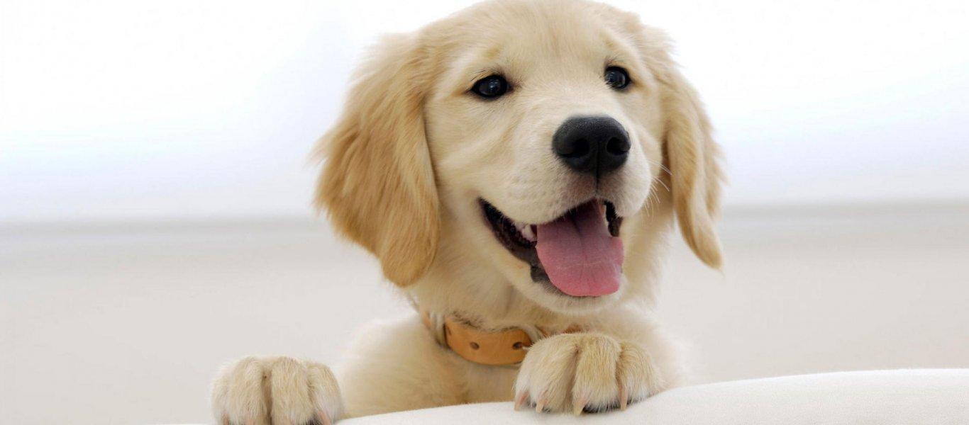 golden-retriever-pup-wallpaper-1