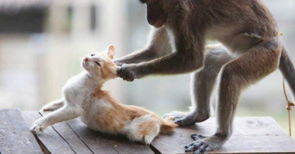 Ξεκαρδιστικό βίντεο: Μαϊμούδες εναντίον… σκυλιών και γατιών!