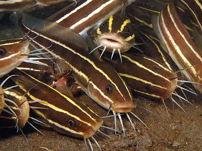 ψάρι θανατηφόρο άγγιγμα άγγιγμα