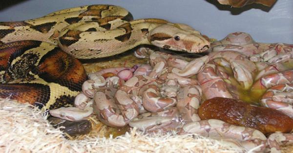 Φίδι γεννάει τα μικρά του: Ένα θέαμα που θα σας ανατριχιάσει! (βίντεο)