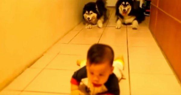 Το μωράκι άρχισε να μπουσουλάει, αλλά μόλις δείτε ΠΩΣ αντέδρασαν τα 2 σκυλιά της οικογένειας; Θα μείνετε με ανοιχτό το στόμα!