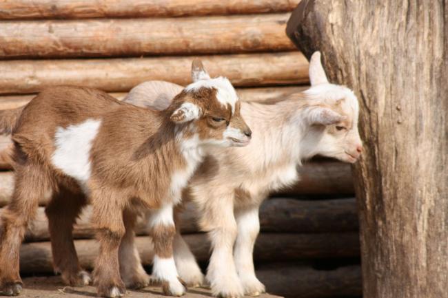 συνήθειες ζώων ζευγαρώματα ζώων