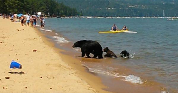 Μαμά αρκούδα με τα μωρά της πήγε στην παραλία γεμάτη κόσμο και βούτηξε στην θάλασσα