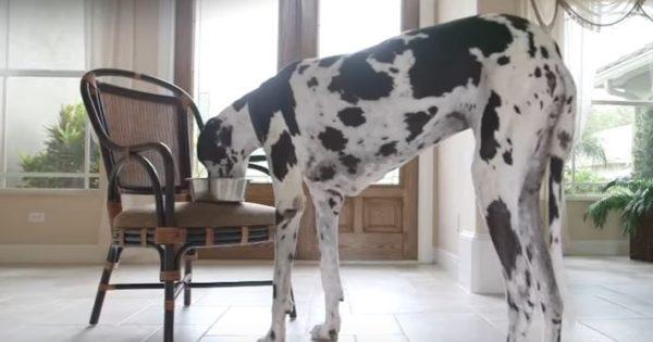 Ο ψηλότερος θηλυκός σκύλος του κόσμου