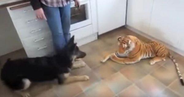 Σκύλος φρικάρει με ένα λούτρινο λιοντάρι