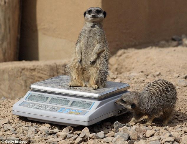 πως ζυγίζουν τα ζώα ζωολογικοί κήποι ζώα
