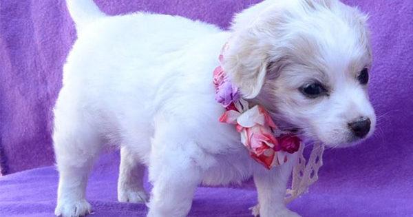 Η μικρή χιoνάτη ζητάει παντοτινό σπιτάκι (Maltese – Caniche – Poodle)