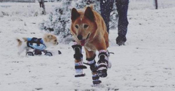 Ο σκύλος που έχασε τα πόδια του στα κρυοπαγήματα αποκτά 4 νέα πρόσθετα μέλη!