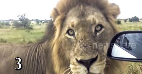 """Το Top-5 των πιο """"στενών επαφών"""" με λιοντάρια (video)"""