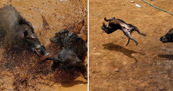 Σκυλιά και αγριογούρουνα παλεύουν μέχρι θανάτου σε μονομαχίες στην Ινδονησία