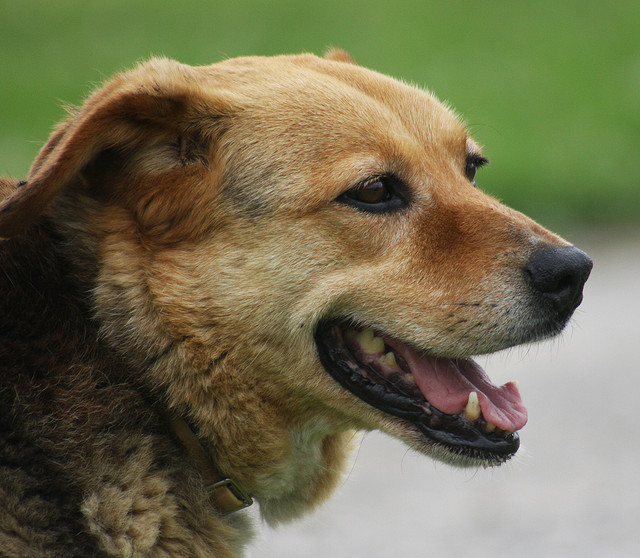 σκύλος ηληκιωμένος σκύλος γήρας ο σκύλος μου γερνάει