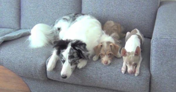 Αυτά τα σκυλιά έχουν ένα ξεχωριστό ταλέντο. Μόλις αρχίσουν να κινούνται, δε θα μπορείτε να ξεκολλήσετε το βλέμμα σας από πάνω τους