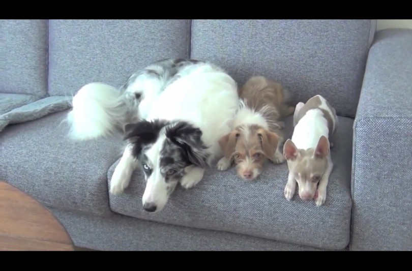 Σκύλος σκυλιά Βίντεο