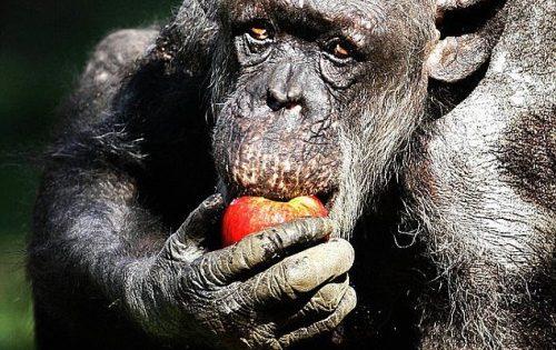 Ετοιμοθάνατος χιμπατζής αναγνωρίζει τον άνθρωπο που κάποτε τη φρόντιζε και πλημμυρίζει από ευτυχία