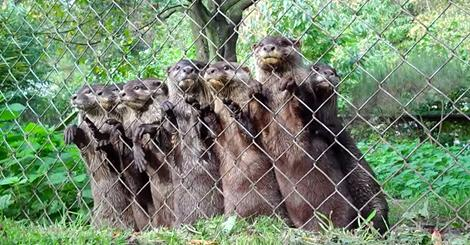 Aυτές οι μικρές βίδρες περιμένουνε να φάνε. Δείτε την αντίδρασή τους όταν πλησιάζει το φαγητό…
