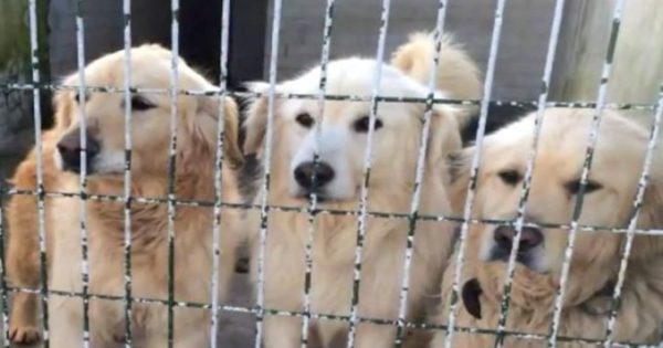 Κρατούσαν φυλακισμένα αυτά τα σκυλιά για χρόνια. Όταν αφέθηκαν ελεύθερα, η αντίδρασή τους μας έφερε δάκρυα στα μάτια…