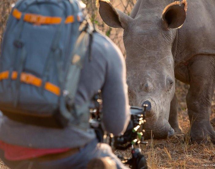 ρινόκερος χάδια ρινόκερος