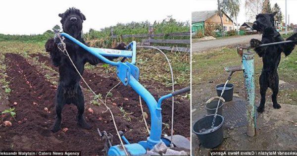 Δουλευταράς σκύλος οργώνει χωράφια, φυτεύει πατάτες και αντλεί νερό ώστε να προσφέρει ένα «πόδι βοηθείας» στον ιδιοκτήτη του