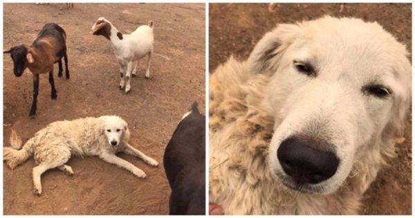Σκύλος αρνήθηκε να εγκαταλείψει κοπάδι με πρόβατα και έμεινε να τα φυλάει παρά τις φονικές πυρκαγιές που έκαψαν τα πάντα