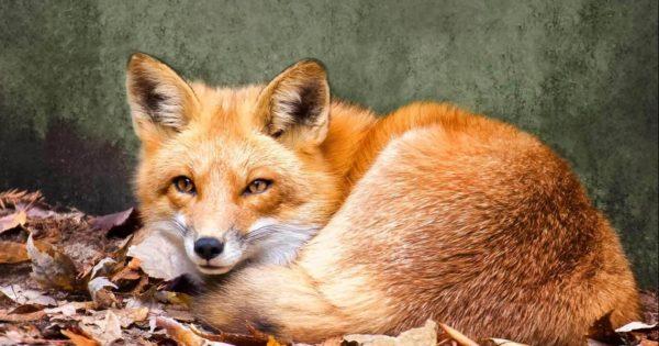 Η αλεπού που συχνάζει σε… σουβλατζίδικο στο Γαλαξίδι