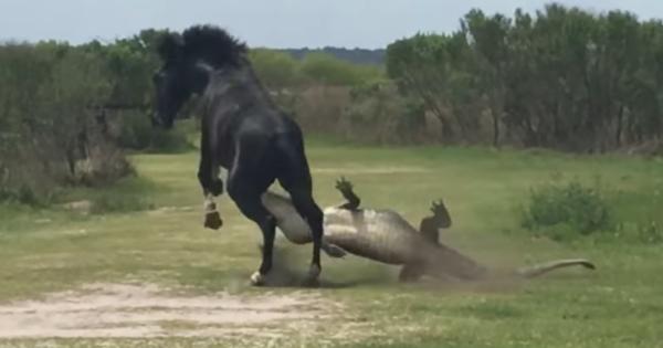 Άλογο «πλακώνει στο ξύλο» έναν τεράστιο αλιγάτορα και η στιγμή καταγράφηκε σε κάμερα