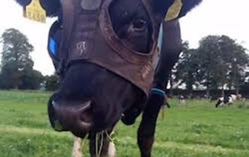 Φόρεσαν μάσκα με τεχνητό φως σε αγελάδα για να παράγει περισσότερο γάλα