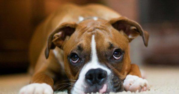 Γιατί τα σκυλιά αντιδρούν στο βλέμμα μας