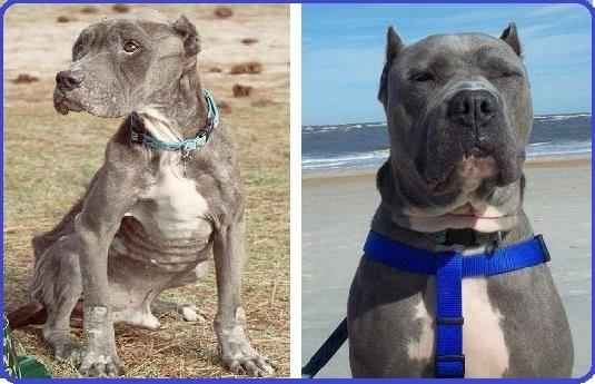 Pit-Bull-Rescue-from-Death-Photos