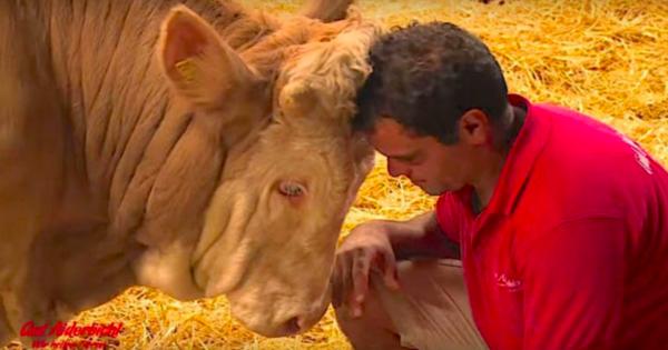 Ταύρος ήταν αλυσοδεμένος όλη του τη ζωή, η συγκινητική αντίδραση του όταν τον απελευθερώνουν έγινε παγκόσμιο viral