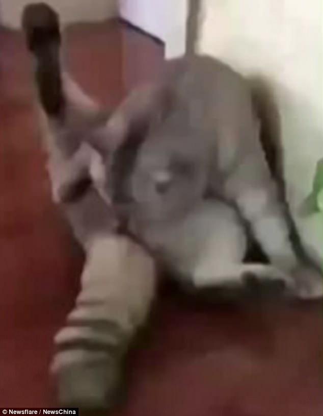 γάτος στείρωση γάτος