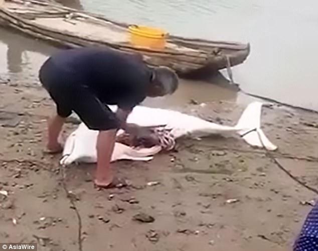 σπάνιο λευκό δελφίνι σπάνια δελφίνια λευκό δελφίνι δελφίνια δελφίνι