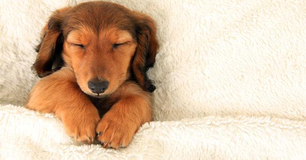 Βλέπουν όνειρα οι σκύλοι;