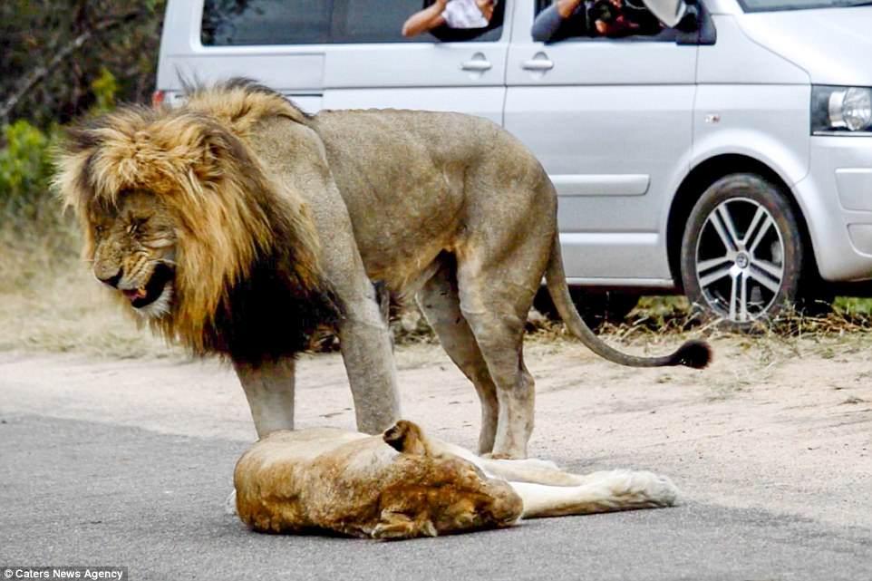 λιοντάρια ζευγάρωμα βίντεο λιοντάρια βίντεο λιοντάρια