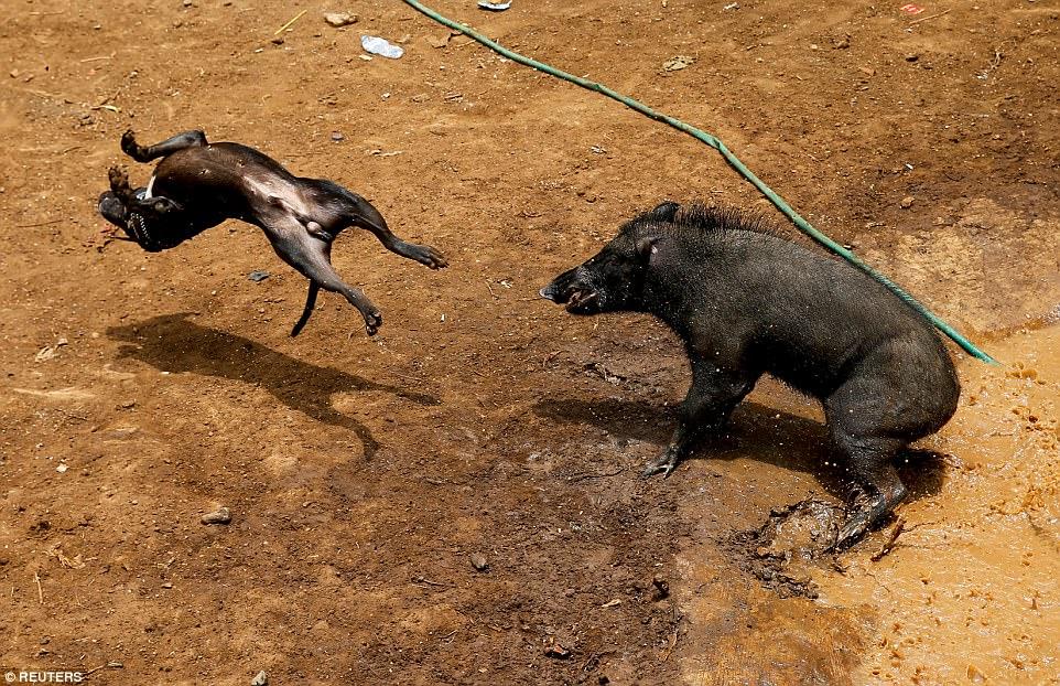 σκυλιά κυνομαχίες αγριογούρουνα