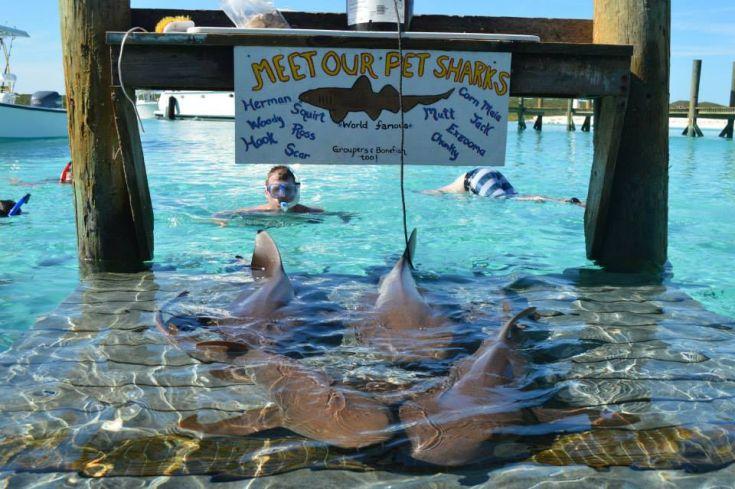ξενοδοχείο στις μπαχάμες με καρχαρίες κολύμπι με καρχαρίες καρχαρίες καρχαρίας άντρας χαιδεύει καρχαρία