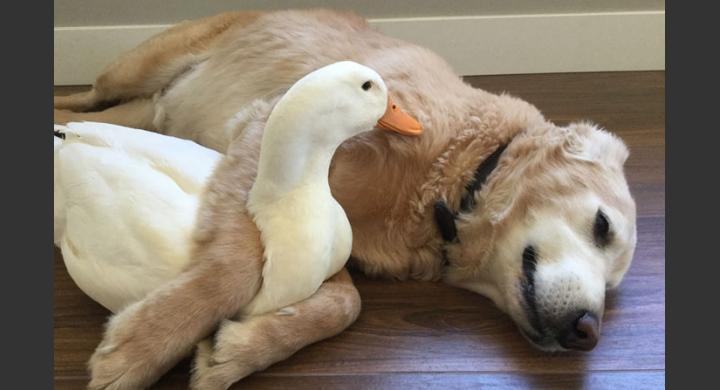 σκύλος και πάπια σκύλος αγάπησε μια πάπια Σκύλος Πάπια