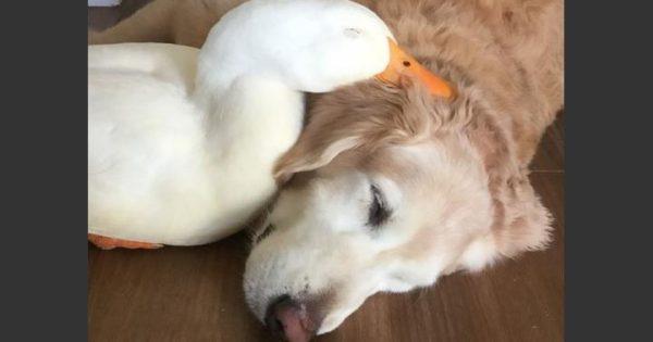 Ο σκύλος που αγάπησε μια πάπια (pics)