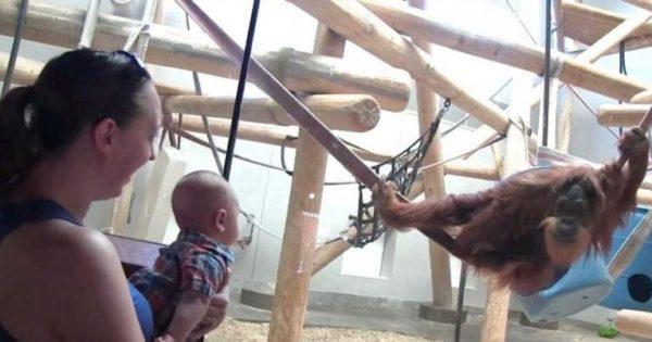 Ουρακοτάγκος βλέπει ένα μωρό πίσω από το τζάμι. Αυτό που κάνει αφήνει άφωνους τους γονείς του