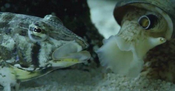 Σπάνιο βίντεο: Κωνικό σαλιγκάρι κατασπαράζει ψάρι