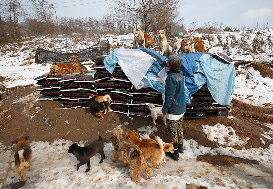 σκυλιά Νότια Κορέα καταφύγιο σκύλων