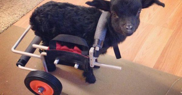 Η ζωή ενός μικρού κατσικιού που έχασε τα δύο του πόδια από κρυοπαγήματα