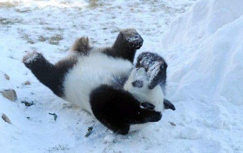 Γιγάντια πάντα βλέπουν για πρώτη φορά στη ζωή τους χιόνι και η συνέχεια είναι αυτό που φαντάζεστε