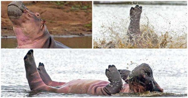 Ιπποπόταμος κολυμπάει και χορεύει ρυθμικά σε πάρκο της Νότιας Αφρικής