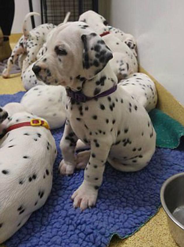 σκύλοι δαλματίας κουτάβια Δαλματίας