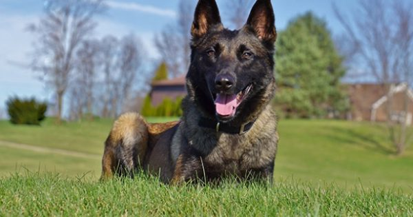 «Αγριεμένος» σκύλος σώζει την ιδιοκτήτριά του από βέβαιο βιασμό