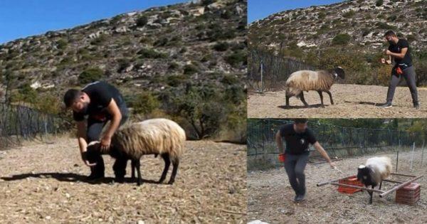 Φοιτητής στην Κρήτη εκπαίδευσε κριάρι για την πτυχιακή του