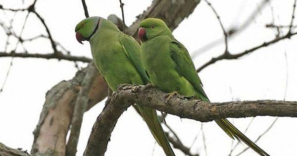 Η Αθήνα… γέμισε πράσινα παπαγαλάκια!