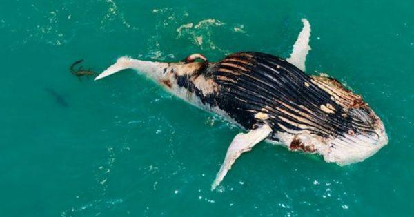 Σπάνιο βίντεο: Κροκόδειλος και καρχαρίας τρέφονται από το κουφάρι φάλαινας