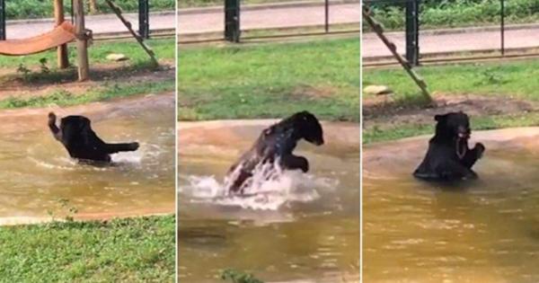 Αρκούδα απελευθερώνεται μετά από 9 χρόνια σε «γιλέκο βασανισμού» και βλέπει νερό για πρώτη φορά στη ζωή της